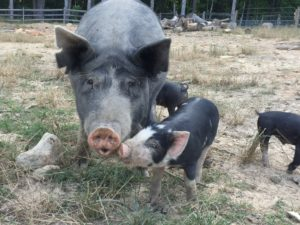 Berkshire Mama and Piglet